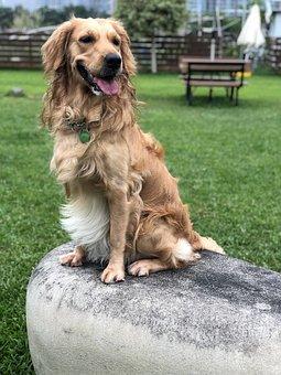 Golden Retriever, Outdoor, Grass, Dog, Golden