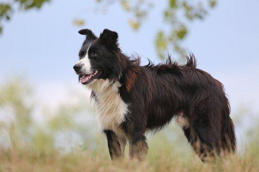 Dog, Shepherd Dog, Guard Dog, Collie, Border, Snout