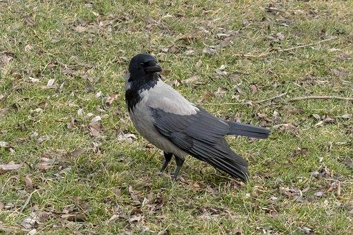 Hooded Crow, Crow, Bird, Black, Gray, Wingtip Toys