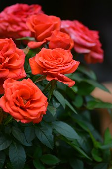 Flowers, Roses, Garden, Red, Scarlet, Leaves, Bud
