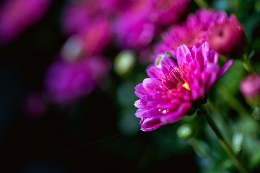 Chrysanthemum, Closeup, Macro, Water, Green, Flower