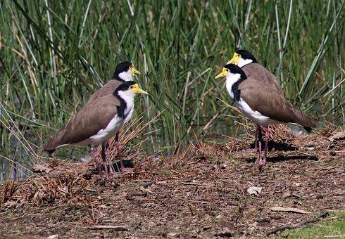 Birds, Lapwings, Wildlife, Lake, Reeds, Nature