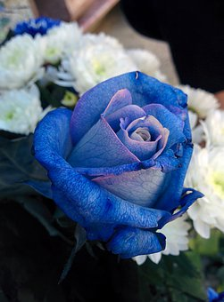 Blue Rose, Flowers, Rosa, Flower, Blue, Nature