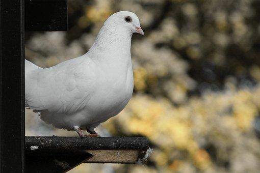 Dove, White, Bird, Columbiformes, Peace Dove, Dovecote