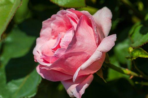 Rose, Flower, Nature, Pink, Flora, Blossom, Bloom