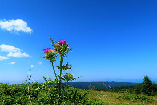 Thistle, Nature, Grassland, Green, Forest, Plant