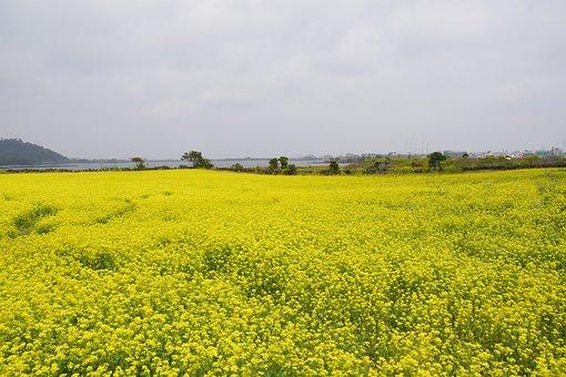 Rape Flowers, Rapeseed, Jeju Island, Plants, Nature