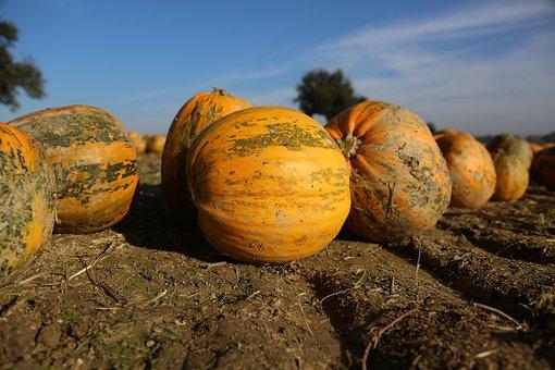 Pumpkin, Field, Crop, Autumn, Harvest, Vegetables