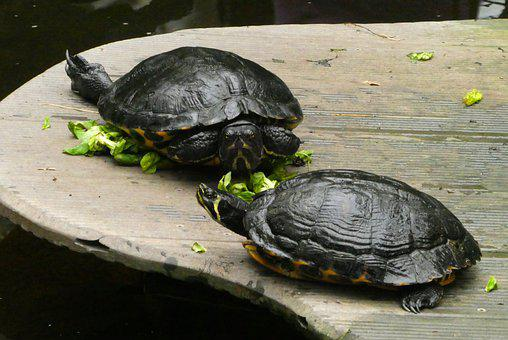 Turtle, Food, Butterfly Garden, Armored, Feed, Reptile