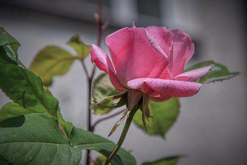 Rose, Rose Bloom, Pink, Garden, Bloom