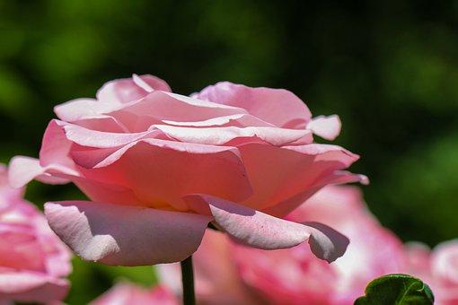 Rose, Flower, Pink, Blossom, Bloom, Nature, Flora