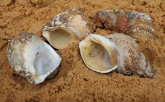 Shell, Large Sea Snail, Casing, Seashell, Seaside