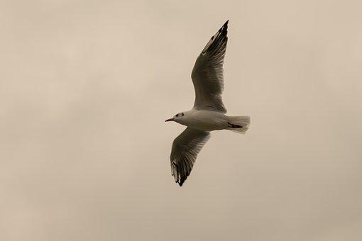 Gull, Flight, Flying, Wing, Sky, Freedom, Clouds