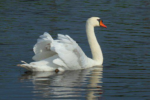 Swans, Reflection, Feathers, Ditch, Waterfowl, Swimming