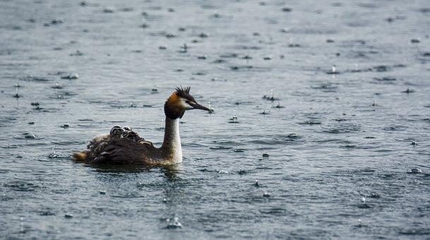 Lake, Rain, Family, Animal, Swim, Waters, Feather