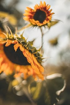 Sunflowers, Blur, The Background, Yellow, The Sun