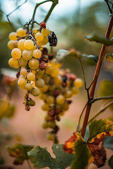 Autumn, Grapes, Vanishing, Out Of Focus, Closeup