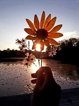 Sunflower, Sunset, Wallpaper, Wallpapers, Nature
