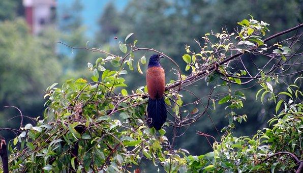 Greater-coucal, Wild, Bird, Outdoor, Tree, Branch