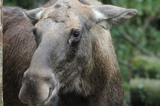 Moose, Wild, Animal, Nature, Wildlife Park, Potzberg