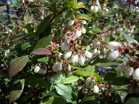 Flowers, Heidelbeerblueten, Andromeda Myntillus