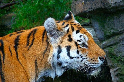 Tiger, Orange, White, Black, Animal, Predator, Exotic