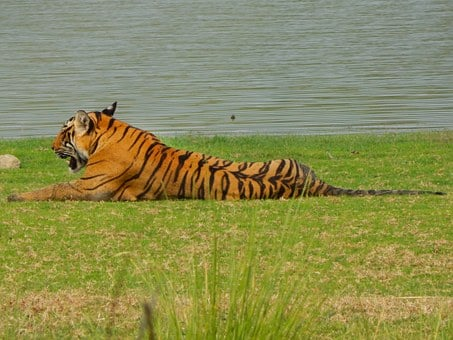 Tiger, Wild, Animal, Stripes, Wildlife, Nature, Mammal
