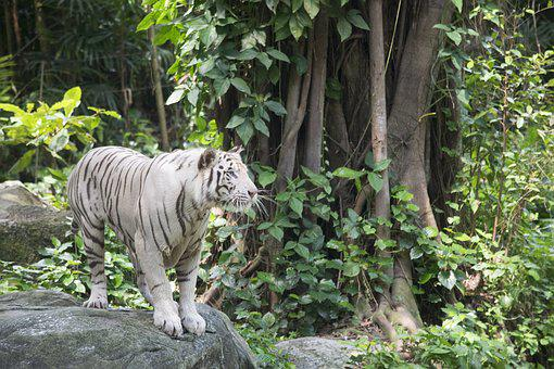 White Tiger, Tigers, Cat, Feline, Animal, Standing