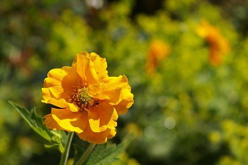 Avens, Shrub, Gartenstaude, Nature, Garden, Summer