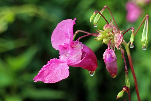Balsam, Flower, Blossom, Bloom, Pink, Himalayan Balsam