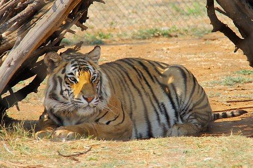 Tiger, Predator World, Pilanesberg National Park, Big5