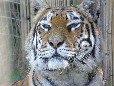 Tiger, Stripes, Wildlife, Animal, Carnivore, Feline