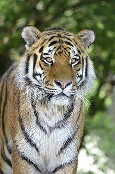 Tiger, Big Cat, Predator, Cat, Dangerous, Close
