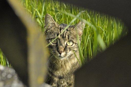 Cat, Domestic Cat, Pet, Young Cat, Cat's Eyes, Cat Face