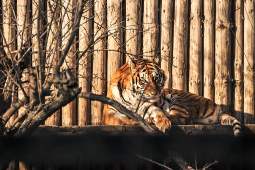 Tiger, Eyes, Watch Out, Feline, Color, Zoo, Wildlife