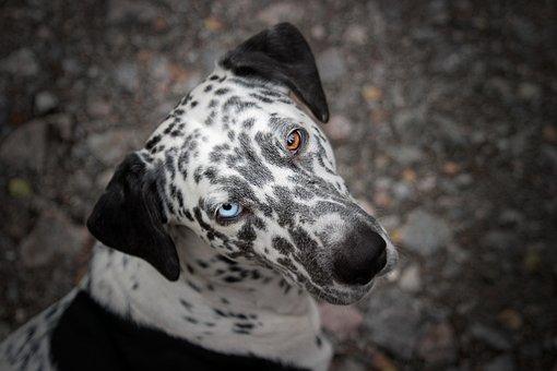 Dog, Animal, Eyes, Different Color, Blue Eye, Brown Eye