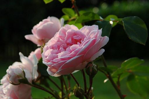 Rose, Sleeping Beauty, Fairy Tales, Romance, Flower