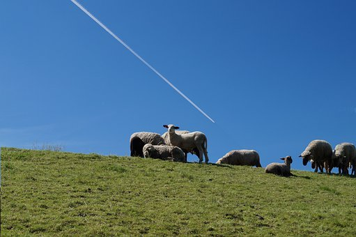Sheep, Pasture, Flock Of Sheep, Agriculture, Lädlich