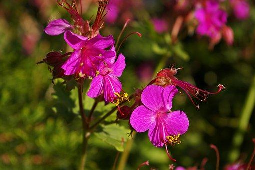 Cranesbill, Ground Cover, Nature, Flora, Summer, Flower