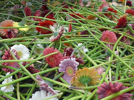 Gerbera, Floristry, Cut Flowers, Flowers, Blütenmeer