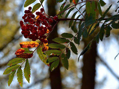 Berry Red, Tree, Nature, Fruits, Red, Fruit, Forest