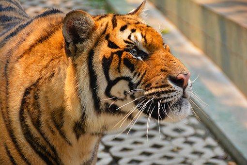 Tiger, Cat, Dangerous, Hunter, Species, Head, Mammal