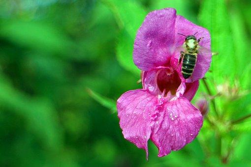Balsam, Himalayan Balsam, Impatiens Glandulifera
