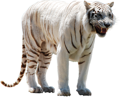 White, Tiger, Predator, Cat, Big, Wild, Animal, Mammal