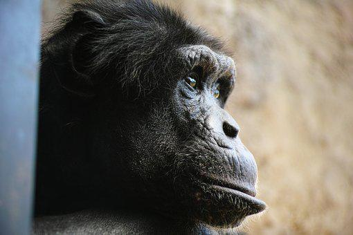 Chimp, Monkey, Face, Profile, Facial Expressions