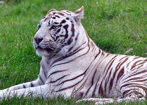 Cat, Tiger, White, Animal, Nature, Wild, Wildlife