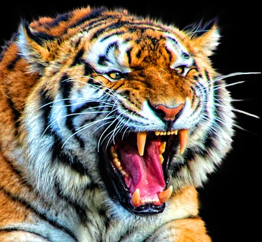 Tiger, Cat, Animal, Nature, Big, Wildlife, Mammal
