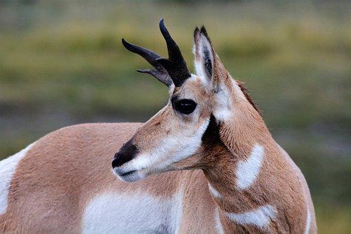Antelope, Pronghorn, Wild, Nature, Wildlife, Animals