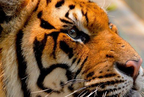 Tiger, Cat, Animal, Big, Nature, Wildlife, Carnivore