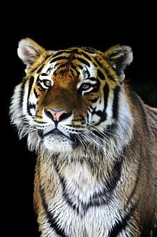 Tiger, Big Cat, Cat, Dangerous, Predator, Close, Noble